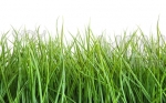 35847-royalty-free-image-of-tall-wet-grass-against-a-white_531x331