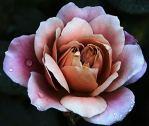 freestock pink flower