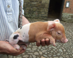 A Acton half-half-pig-mr