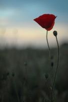 poppy-2550279_1920