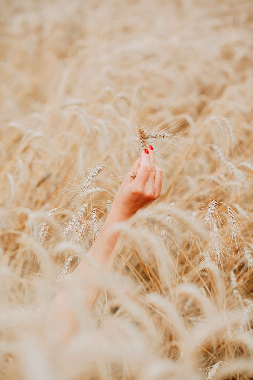 person s right hand holding brown wheat plant